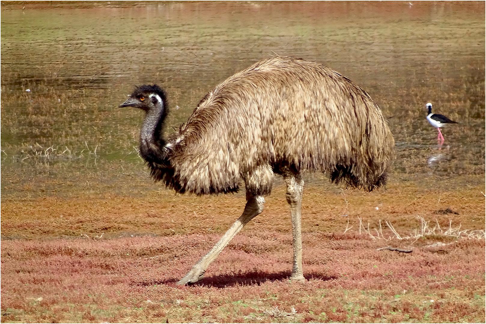 Stolz wie ein... Emu