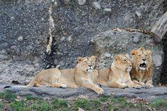 Stolze Löwen