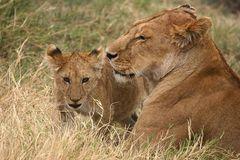 Stolze Löwenmutter