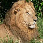 Stolzer König der Tiere