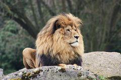 Stolzer Löwe