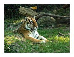 Stolzer sibirischer Tiger