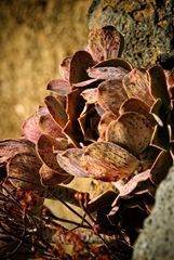 [Stone Rose]