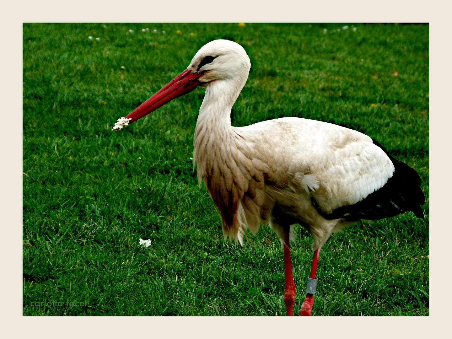 Storch 2
