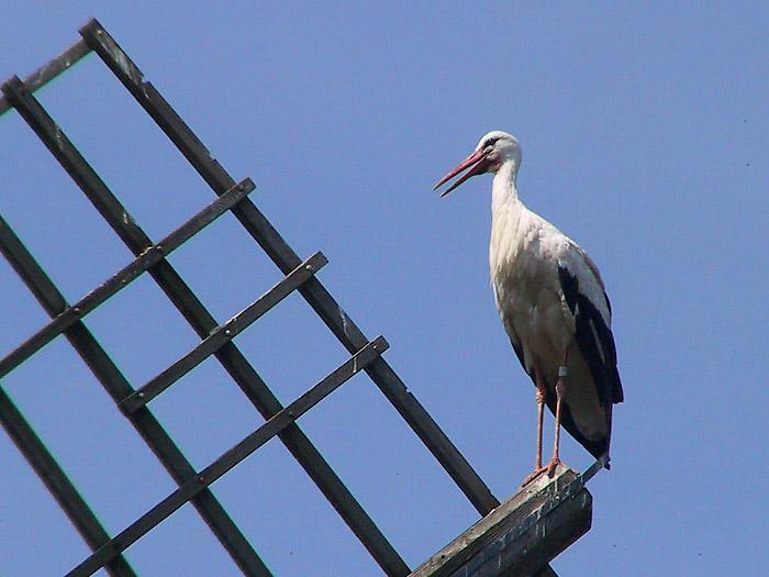 Storch am Ausguck auf der Windmühle