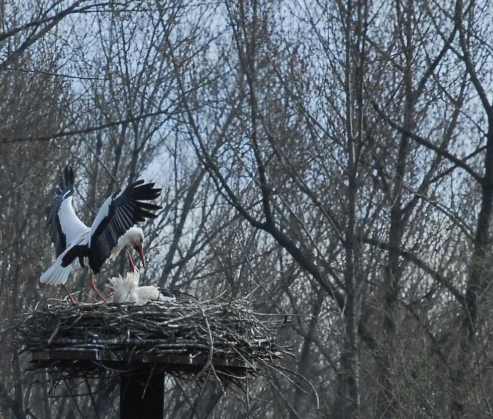 Storch auf dem Nest Begrüßung