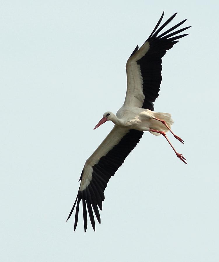 Storch fliegt Steilkurve
