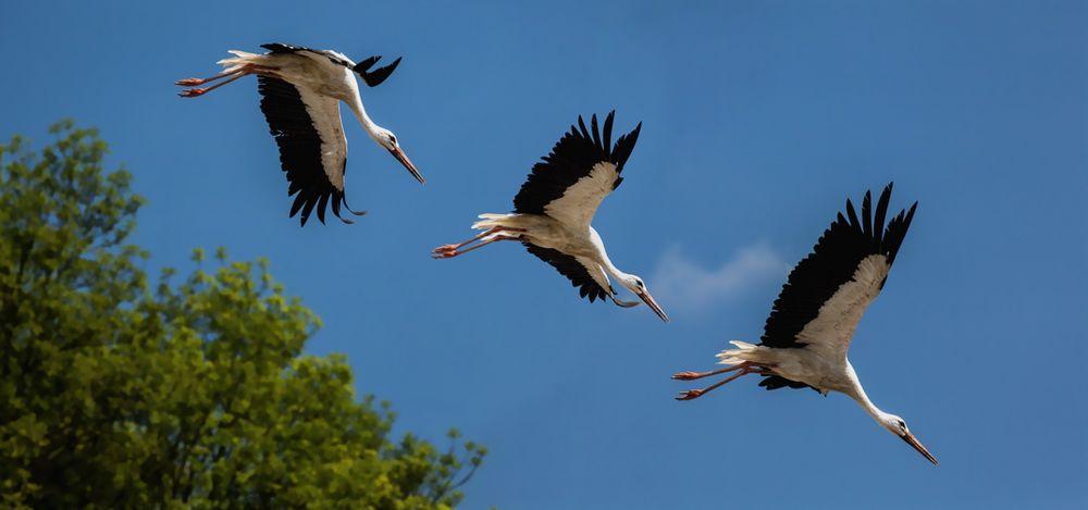 Storch im Abflug!
