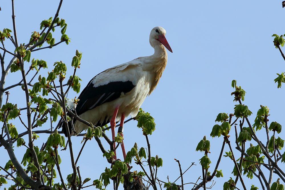 Storch im Luisenpark Mannheim (I)