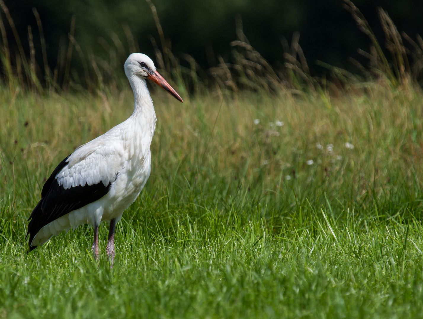 Storch im Rednitzgrund 2013 (1)