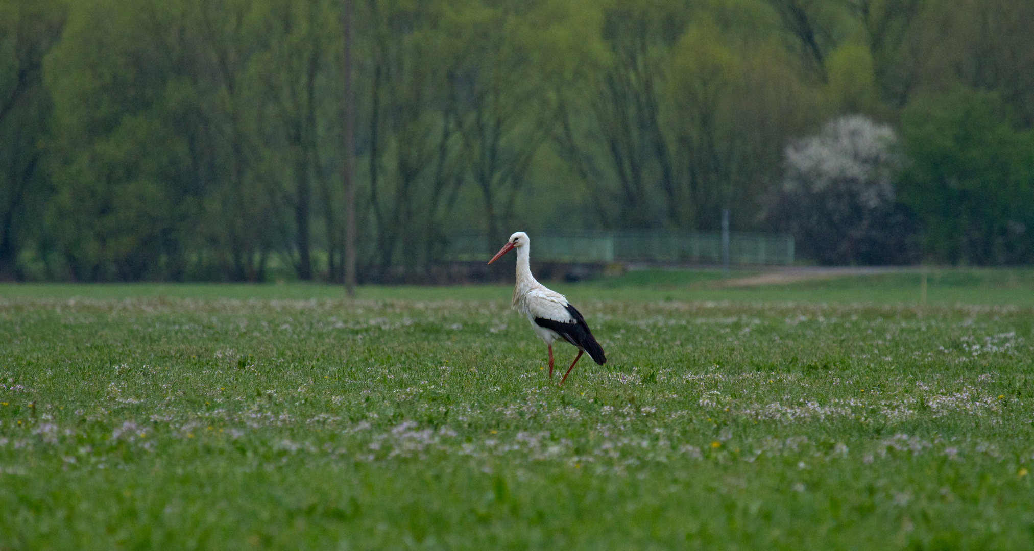 Storch im Rednitzgrund bei Katzwang (1)