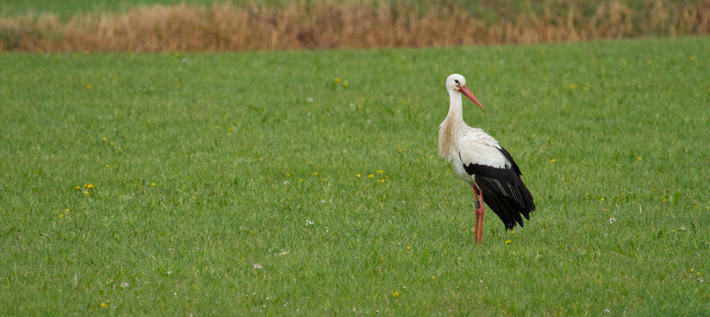 Storch im Rednitzgrund bei Katzwang (8)