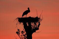 Storch im Sonnenuntergang