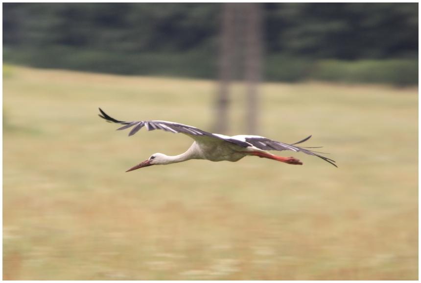 Storch in Ungarn