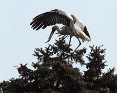Storch mit Fisch