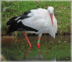 Storch nimmt ein Fußbad
