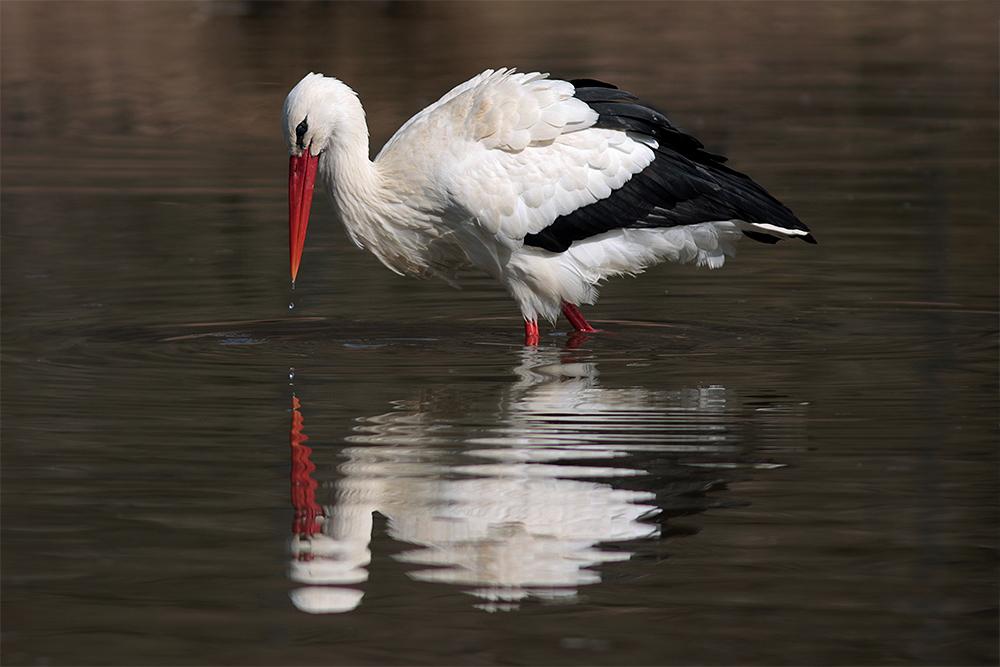 Storch - Spiegelbild