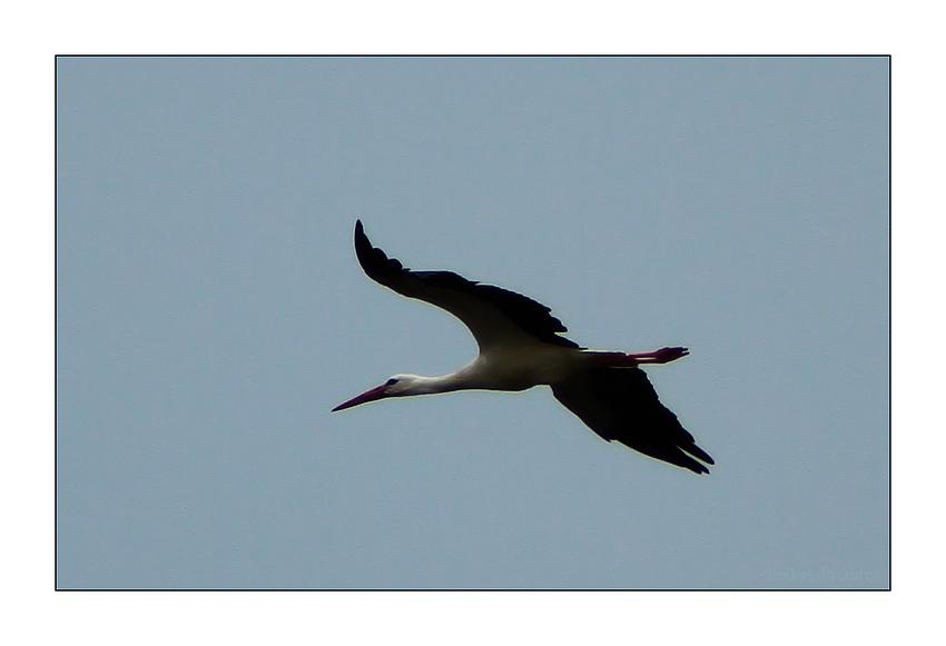 Storch über dem Nord Ostsee Kanal