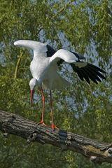 Storch - vor dem Abflug