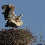 Storchen Paarung