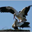 Storchenpaar 2005 zurück in D