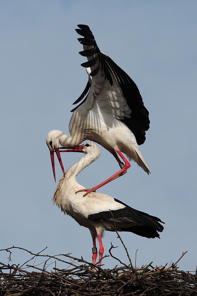 Storchenpaar 2010