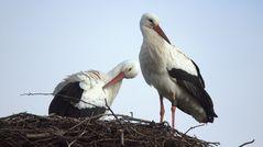 Storchenpaar auf dem Horst