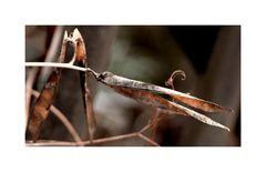 Storchenschnabel