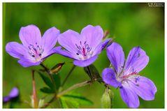 - Storchenschnabel - ( Geranium sangguineum )