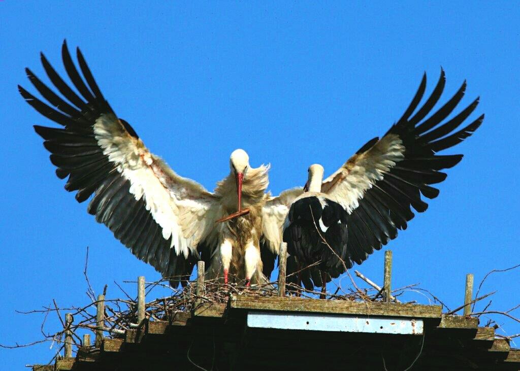 Storch,jpg