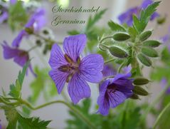 Storchschnabel Geranium