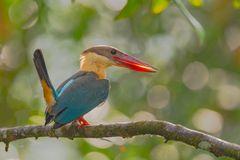 Stork-billed Kingfisher ( Pelargopsis capensis )