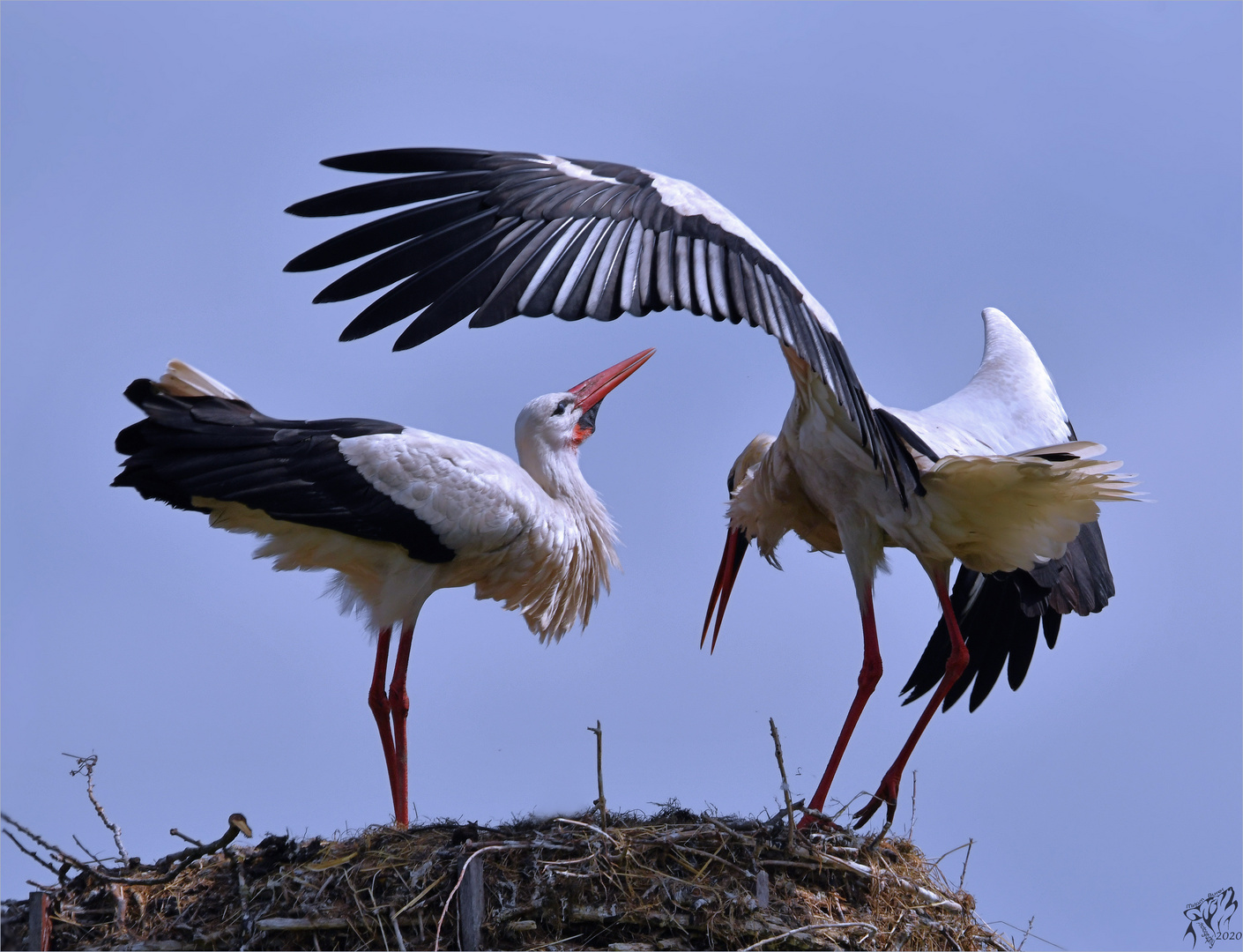 Stork couple ...