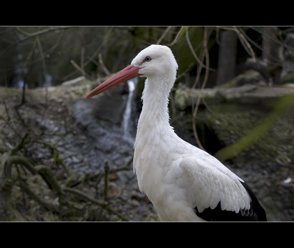 Stork,an amazing bird