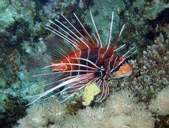 Strahlen-Feuerfisch