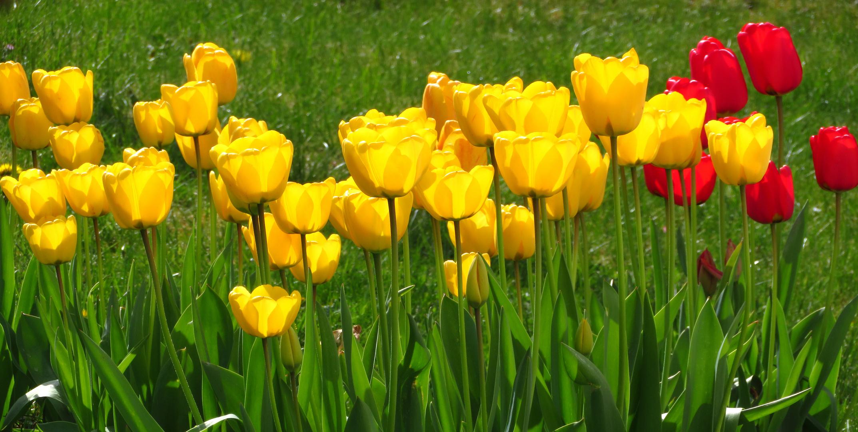 Strahlend hell leuchten die Tulpen heute morgen in der Mai-Sonne