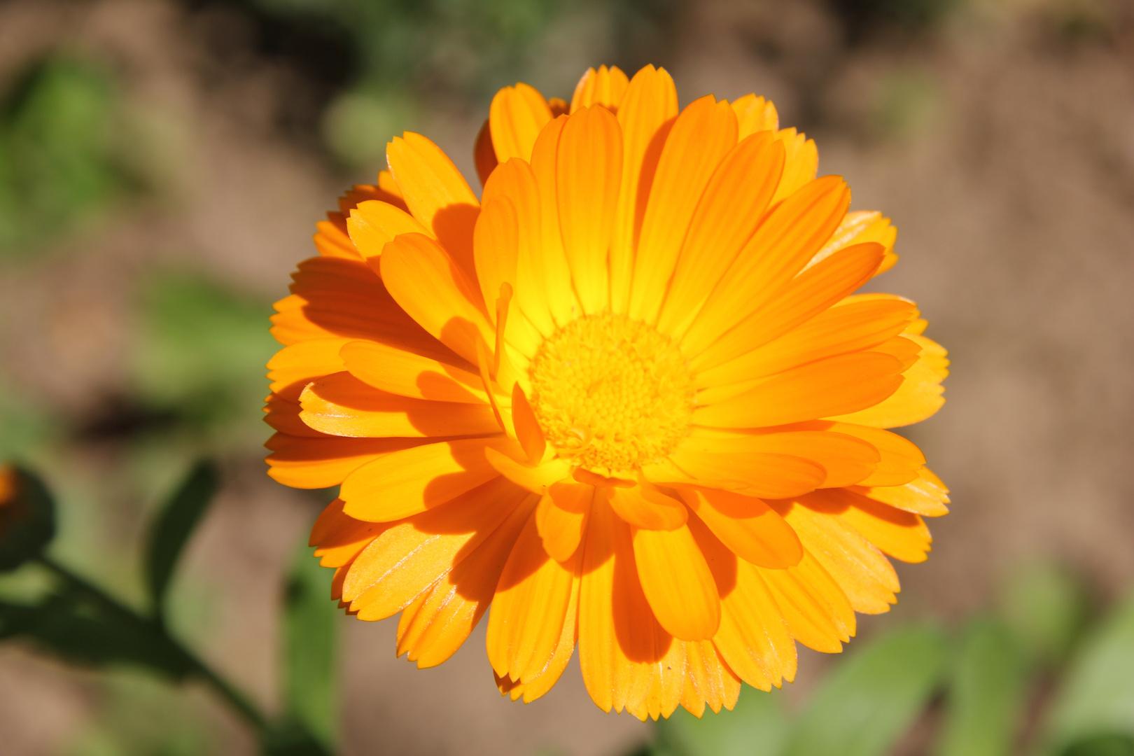 strahlende Ringelblume