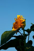strahlende Sonnenblume1