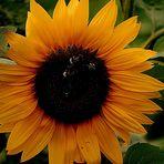 Strahlendes Gesicht einer Sonnenblume mit Besucher.