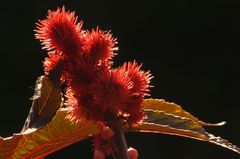 Strahlendes Rot (Ricinus communis)