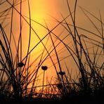 Strand-Grasnelke bei Sonnenuntergang