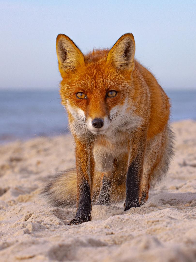 Strandfuchs Foto & Bild   tiere, wildlife, tier Bilder auf ...