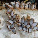 Strandfunde - Entenmuscheln (4)