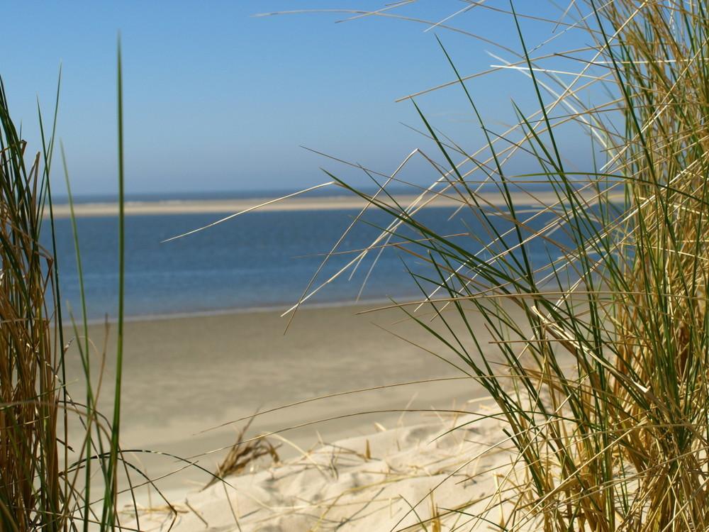 Strandhafer auf Spiekeroog