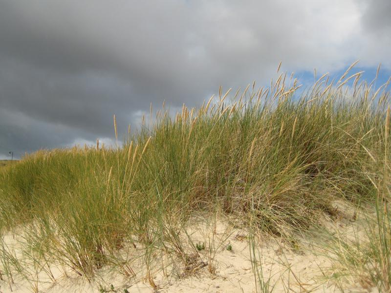 Strandhafer bei List auf Sylt