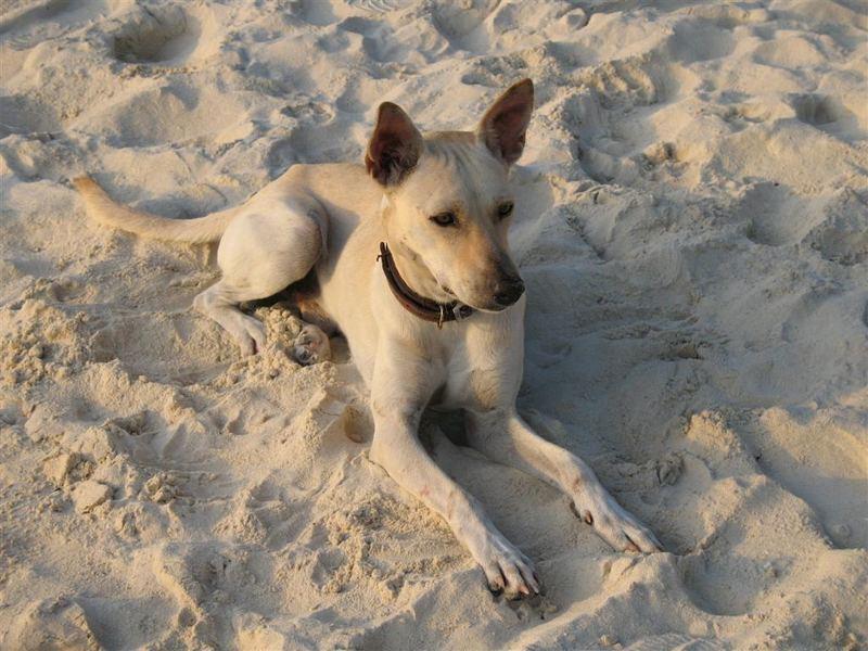 Strandhund von Boracay , Philippinen ,2007