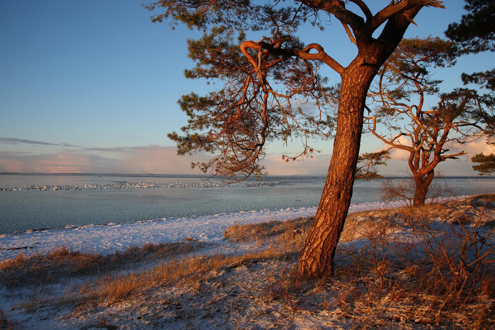 Strandkiefern im Winterlicht