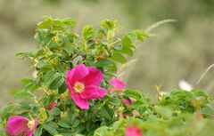 Strandrose