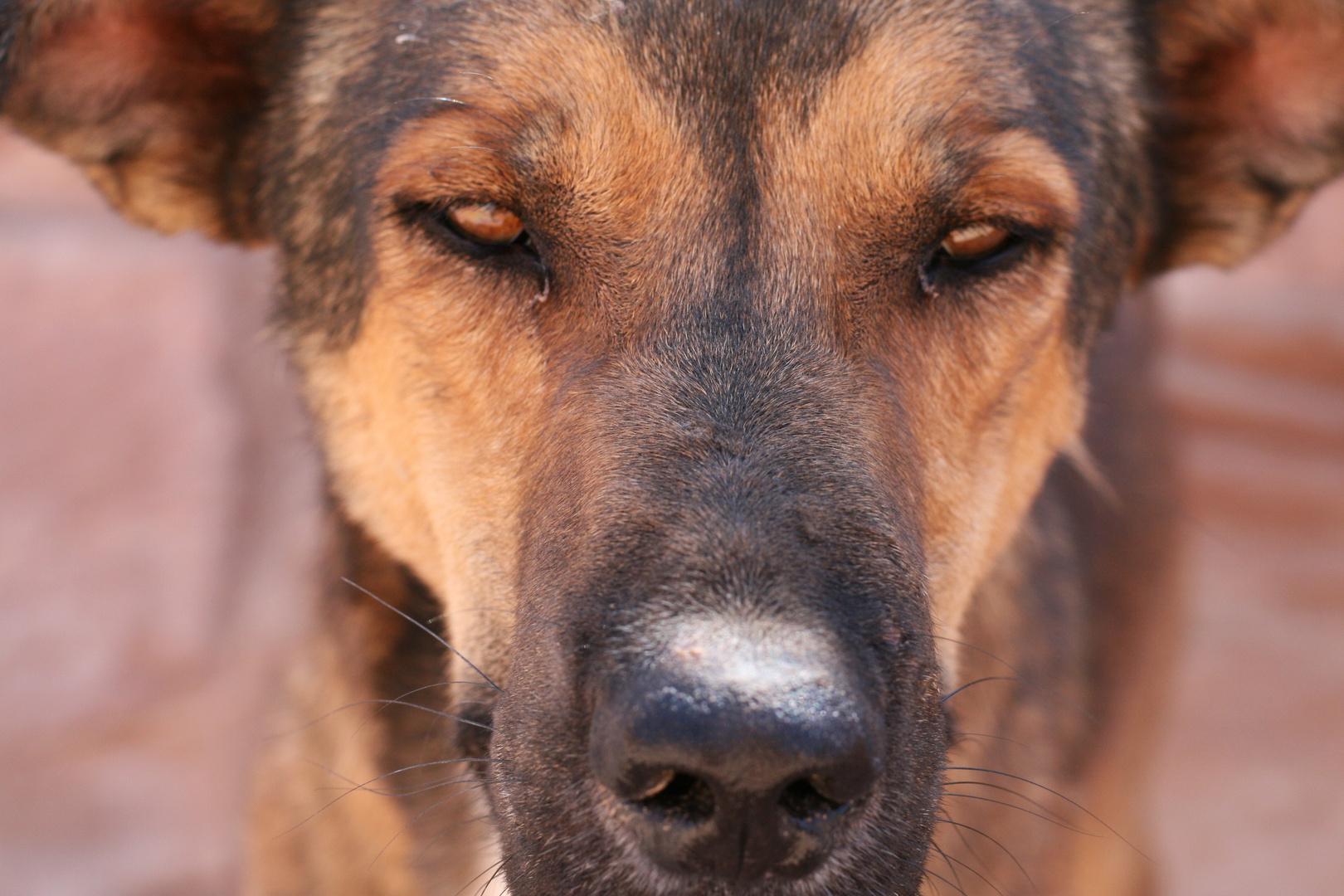 Straßenhund in Petra (Jordanien)