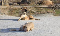 Strassenhunde in der Türkey